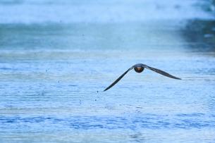 ツバメの飛翔の写真素材 [FYI03376863]