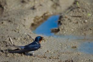 巣材を集めるツバメの写真素材 [FYI03376874]