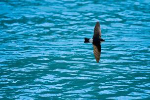 イワツバメ 飛翔の写真素材 [FYI03376877]