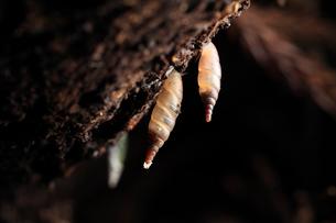 朽木を棲みかにするキセルガイの仲間の写真素材 [FYI03376914]
