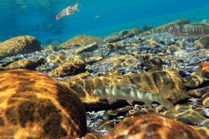 川床を泳ぐアユの写真素材 [FYI03376925]