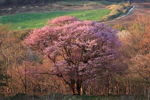 七時雨の桜の写真素材 [FYI03376978]