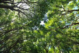 オガサワラグワ 母島の写真素材 [FYI03377133]