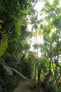 リュウビンタイ ヤシ 農業センター 亜熱帯農業研究所 父島の写真素材 [FYI03377171]