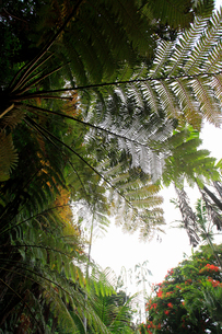 リュウビンタイ 農業センター 亜熱帯農業研究所 父島の写真素材 [FYI03377176]
