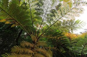リュウビンタイ 農業センター 亜熱帯農業研究所 父島の写真素材 [FYI03377177]