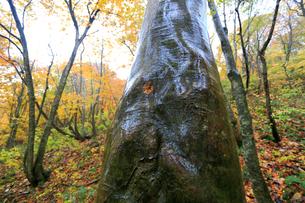 白神山地 暗門 紅葉 老木の写真素材 [FYI03377260]