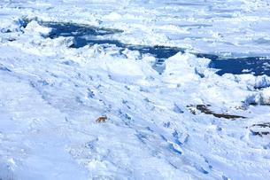 流氷とキタキツネの写真素材 [FYI03377317]