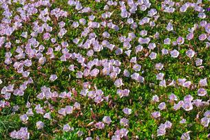 風合瀬海岸のハマヒルガオの写真素材 [FYI03377407]