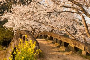 大窪橋の桜の写真素材 [FYI03377594]