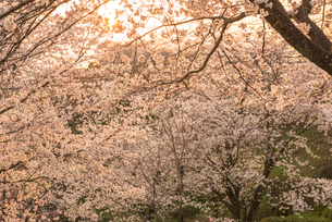 菊池公園の桜の写真素材 [FYI03377601]