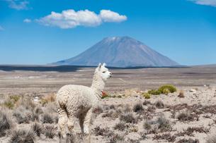 アンデス高原のアルパカとミスティ山の写真素材 [FYI03377771]