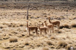 アンデス高原の絶滅危惧種ビクーニャの群れの写真素材 [FYI03377784]