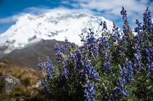 ルピナスの花と、ペルー最高峰ワスカランの写真素材 [FYI03377803]