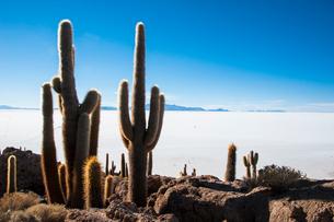 ウユニ塩湖のサボテン島 インカワシの写真素材 [FYI03377807]