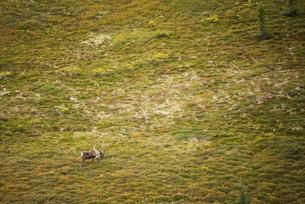 野生のトナカイ:アラスカのカリブーの写真素材 [FYI03377859]
