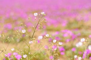 アタカマ砂漠の花 マルビージャの写真素材 [FYI03377934]