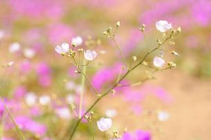 アタカマ砂漠の花 マルビージャの写真素材 [FYI03377936]