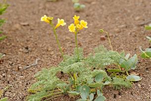 アタカマ砂漠の花 テルシオペロ(ラディアータ)の写真素材 [FYI03377939]