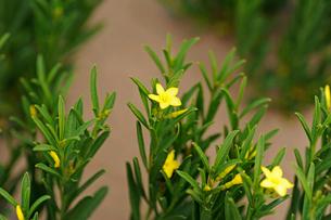 アタカマ砂漠の花 クエルノ・デ・カブラの写真素材 [FYI03377948]