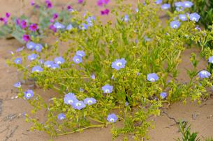 アタカマ砂漠の花 ススピロの写真素材 [FYI03377962]
