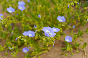 アタカマ砂漠の花 ススピロの写真素材 [FYI03377963]