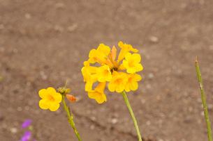 アタカマ砂漠の花 テルシオペロ(ラディアータ)の写真素材 [FYI03377980]