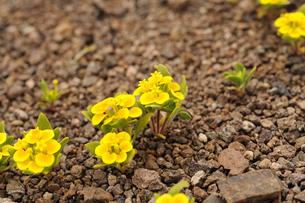 アタカマ砂漠の花 ロシータの写真素材 [FYI03377982]