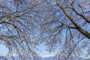 桜並木から覗く中央アルプスの写真素材 [FYI03378299]