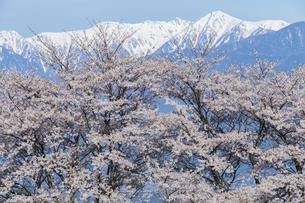 満開の桜と中央アルプス宝剣岳の写真素材 [FYI03378301]
