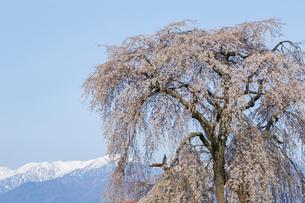 栗林の枝垂れ桜の写真素材 [FYI03378303]