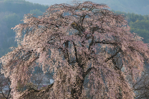 上の山の枝垂れ桜の写真素材 [FYI03378305]