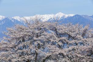 満開の桜と中央アルプス宝剣岳の写真素材 [FYI03378311]