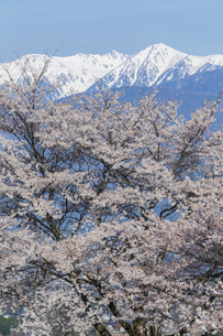満開の桜と中央アルプス宝剣岳の写真素材 [FYI03378319]
