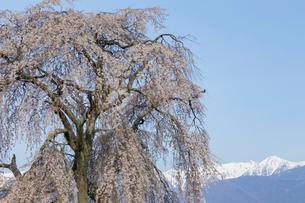 栗林の枝垂れ桜の写真素材 [FYI03378323]