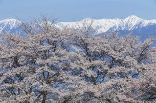 満開の桜と中央アルプス宝剣岳の写真素材 [FYI03378328]