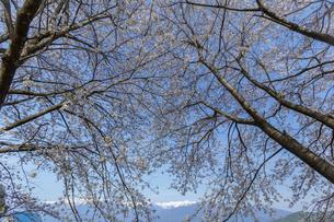 桜並木から覗く中央アルプスの写真素材 [FYI03378329]