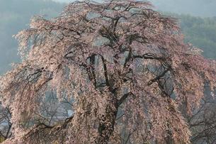 上の山の枝垂れ桜の写真素材 [FYI03378386]