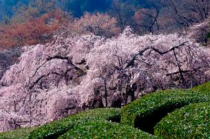 茶畑と池田山の枝垂れ桜の写真素材 [FYI03378393]