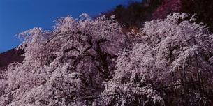 朝の陽に咲く糸桜の写真素材 [FYI03378401]