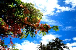 青空の下、シャワーツリーが咲く初夏の風景の写真素材 [FYI03378402]