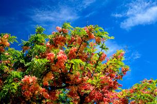 シャワーツリーの美しい花と青空のハワイの写真素材 [FYI03378408]