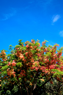 シャワーツリーの美しい花と青空のハワイの写真素材 [FYI03378410]