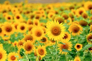 真夏の太陽を浴びて咲きほこる向日葵の花の写真素材 [FYI03378415]