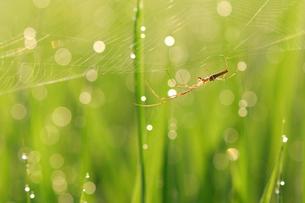 クモの巣にぶら下がるナガアシグモの写真素材 [FYI03378473]