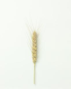 六条麦の穂の写真素材 [FYI03378514]