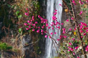 ピンクの梅と滝の写真素材 [FYI03379590]