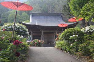 牡丹咲く遠照寺の釈迦堂の写真素材 [FYI03379598]
