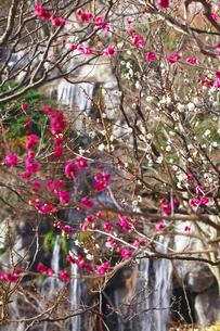 ピンクと白の梅と滝の写真素材 [FYI03379600]