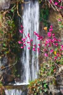 ピンクの梅と滝の写真素材 [FYI03379602]